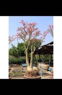 5 Seeds Adenium Fu Gui Flower Seed Benih Bunga Kemboja 富贵花 沙漠玫瑰 - Somalense