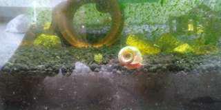 🚚 Ramhorn snails for sale
