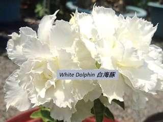 5 Seeds Adenium Fu Gui Flower Benih Bunga Kemboja 富贵花 沙漠玫瑰 - White Dolphine