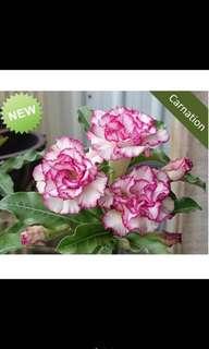 5 Pcs Adenium Seeds Bunga Kemboja Fu Gui Flower Seed 富贵花 沙漠玫瑰 - Carnation