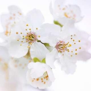 White Blossoms Fragrance Oil