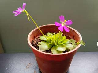 Pinguicula (Butterworts) plant