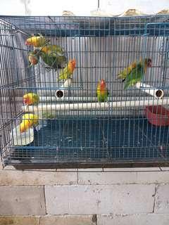 Burung love bird