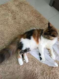 Kucing persia 5 bulan