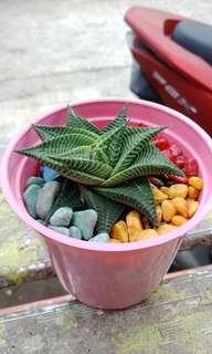 Kaktus dan suculent murah