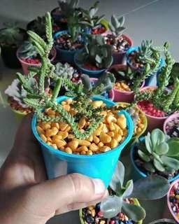 Kaktus dan suculent