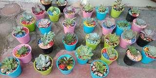 Kaktus dan suculent mini