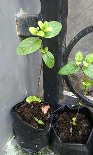 Bibit Tanaman Mint 10 sd 15 cm