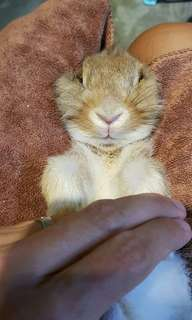 Professional rabbit grooming housecall(Free transportation islandwide!!!8th to 28th july)