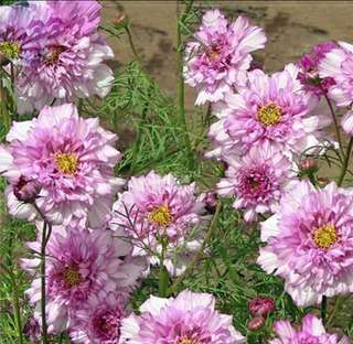 Light Pink Hybrid Double Petals Cosmos Coreopsis Seeds
