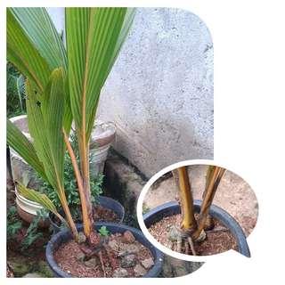 Bibit bahan bonsai kelapa tunas 2