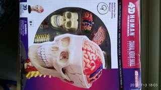 生物科人體頭部模型