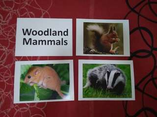 Woodland Mammals - BN Glenn Doman and Shichida Flashcards
