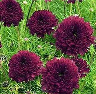 Deep Dark Red Hybrid Double Petals Cosmos Coreopsis Seeds