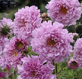 Pink Hybrid Double Petals Cosmos Coreopsis Seeds