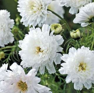 Snow White Hybrid Double Petals Cosmos Coreopsis Seeds