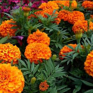 Tagetes Erecta French Marigold Mix Colour Seeds