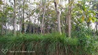 Tanah kebun pohon jati luas 850m di kuripan ciseeng