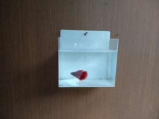 Aquarium mini gantung ikan cupang
