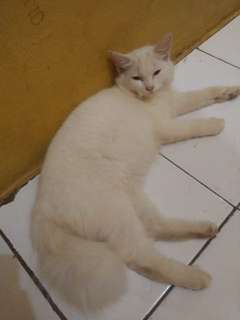 kucing anggora mix persia 5 month