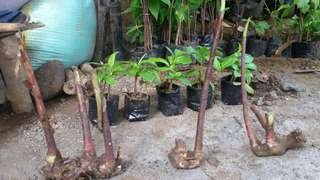 Insulin plants