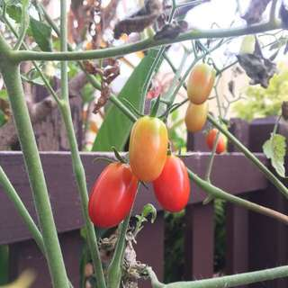 Cherry tomato seeds for sale