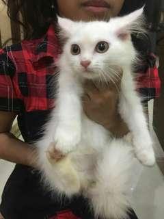 Kucing Persia Betina 3 Bln, Bulu Halus, Panjang & Lebat