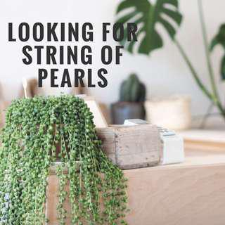 LOOKING FOR 3 POTS : STRING OF PEARLS PLANT