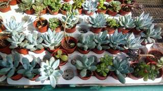 Succulents 3 for $10 nice rare breeds