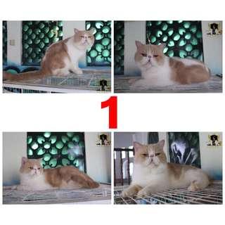 Jual 13 kucing (Persia, Peaknose, Exotic, Himalaya)