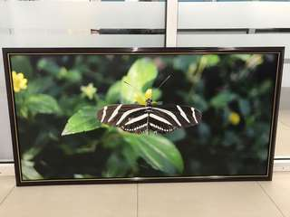 Butterfly photo with frame 4ft x 2ft