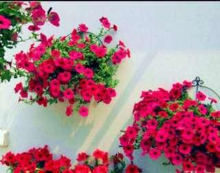 Heirloom Hanging Petunia Seeds Purely Pinkish Red