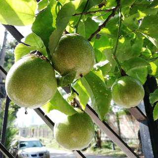 Passion Fruit (Passiflora edulis) Seedling