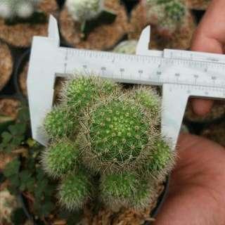 Kaktus Cluster