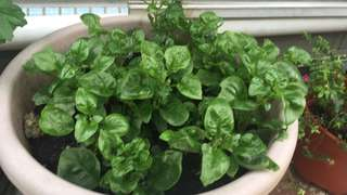 Bazil spinach 木耳菜