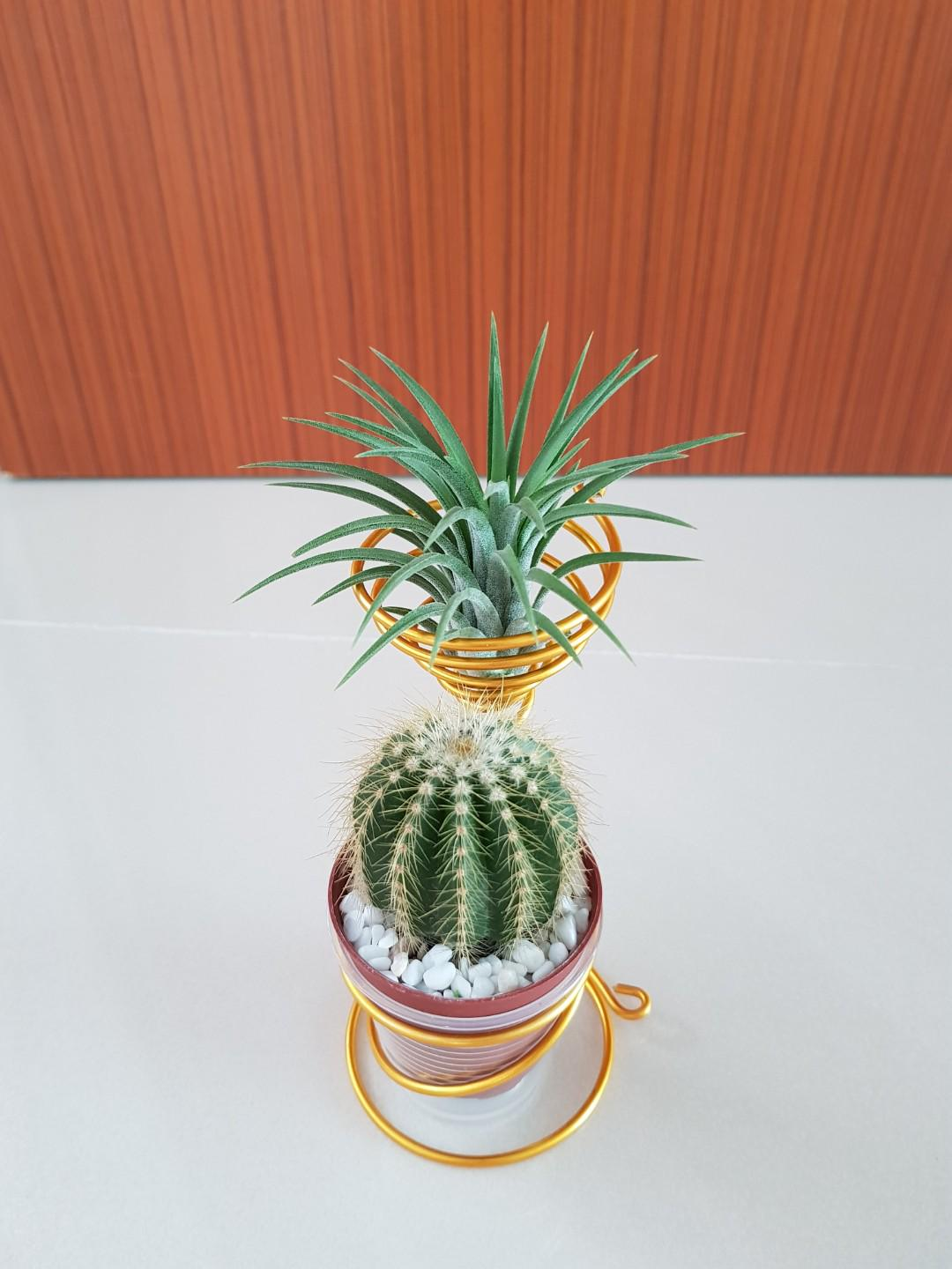 Air Plant Cactus For Office