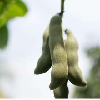 Biji Benih Kacang Itik