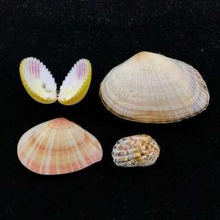 Sea Shell Specimen Assorted Bivalves set , BEAUTIFUL! VIVID COLOURED, 4 species!F+++