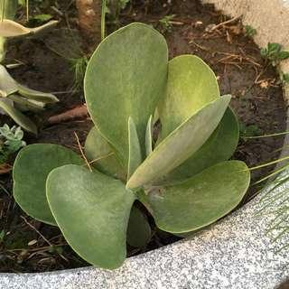 🚚 唐印 多肉植物