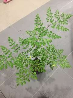 moringa plant in polybag