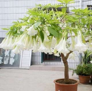 White Datura Flower Seeds