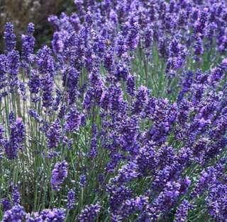 Provence Lavender Seeds