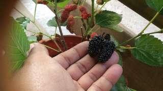 Pokok mulberry chiangmai 60