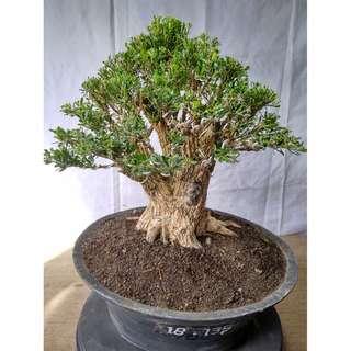 Bonsai Buxus Harlandii 18.135 FORMAL STYLE
