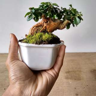 Mame Bonsai Maclura Cochinchinensis