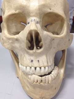 Human Skull Reviewer/Reference for Anatomy