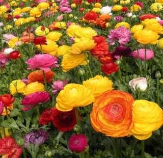 Ranunculus Double Buttercup Mix Colour Seeds