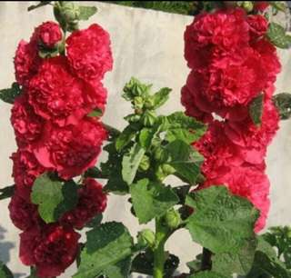 Alcea Rosea Double Blossom Hollyhock Seeds