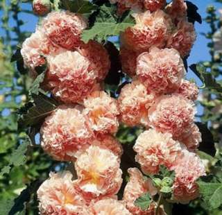 Double Salmon Blossom Hollyhock Seeds