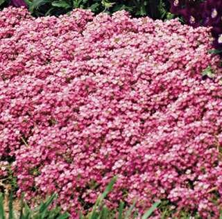 Pink Alyssum Seeds - Lobularia Maritima